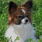 Femelle chien épagneul nain continental papillon